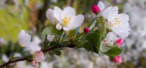 Apfelbluete-beschnitten-5